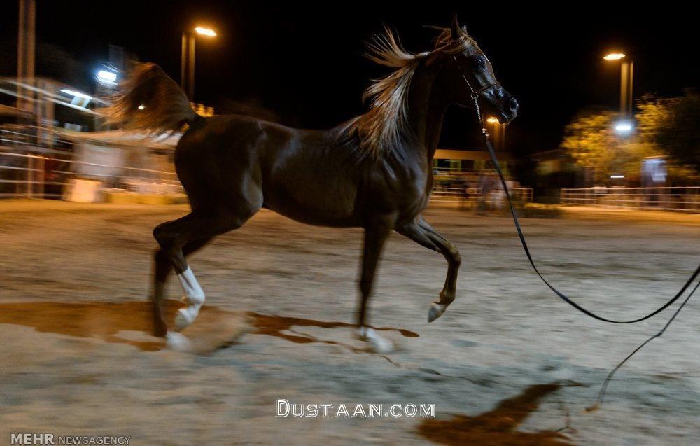 www.dustaan.com برگزاری جشنواره زیبایی اسب اصیل عرب در استان البرز +تصاویر