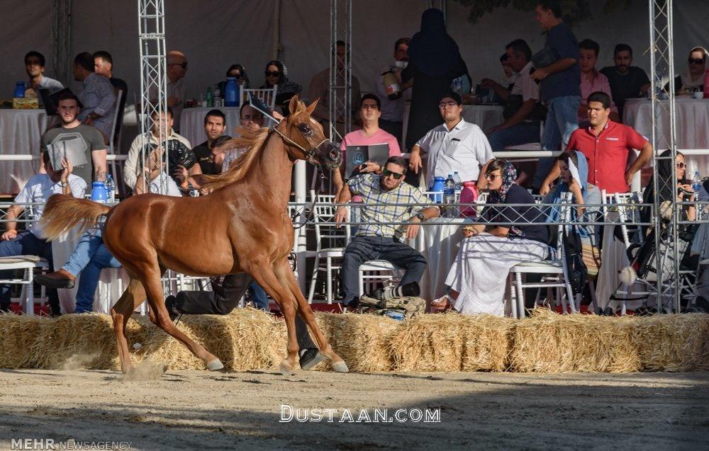 www.dustaan.com-برگزاری جشنواره زیبایی اسب اصیل عرب در استان البرز +تصاویر