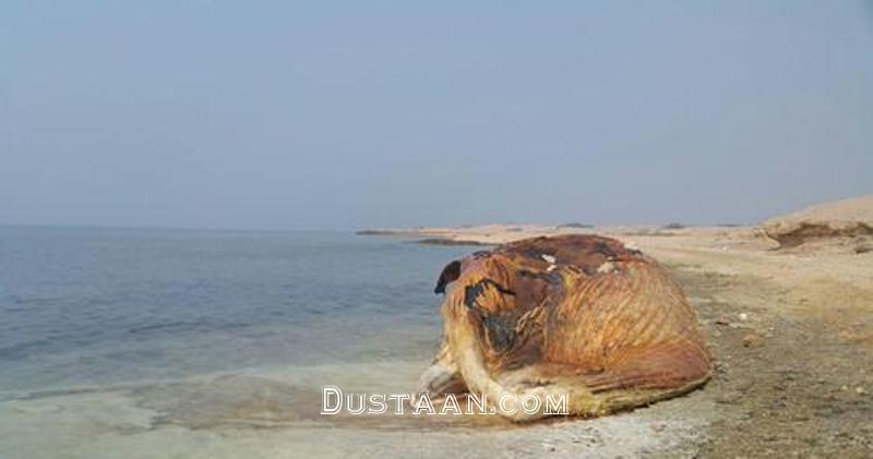 www.dustaan.com کشف لاشه نهنگ ۳۵ تنی در جزیره ایرانی! +عکس