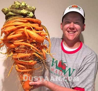 www.dustaan.com بزرگترین هویج جهان با 22 کیلوگرم وزن! +عکس