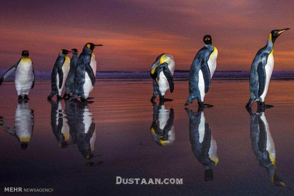 www.dustaan.com رژه زیبای پنگوئن ها در غروب آفتاب! +تصاویر