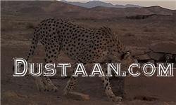 www.dustaan.com یار قلی معروف مسن ترین یوز ایرانی دیده شد +عکس