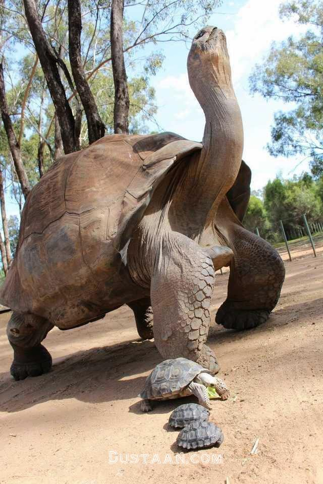 www.dustaan.com بزرگترین لاکپشت جهان با 2متر طول و 500 کیلو وزن! +عکس