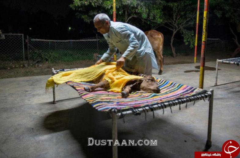 www.dustaan.com تصاویر : زندگی عجیب یک مرد هندی با یک گاو