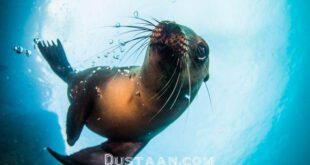 بازی شیر دریایی با حباب در عکس روز نشنال جئوگرافیک +عکس
