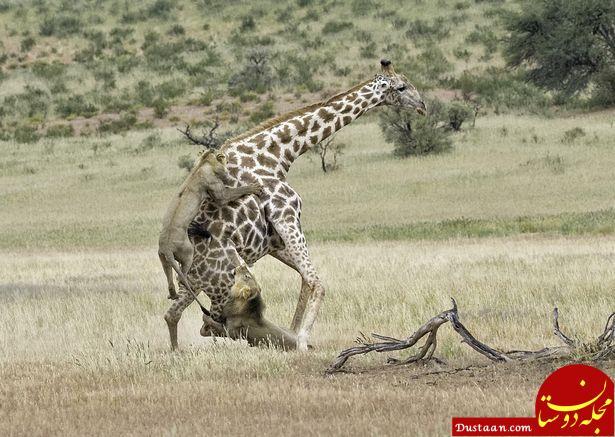 www.dustaan.com تلاش شیر ها برای شکار زرافه تنومند! +تصاویر