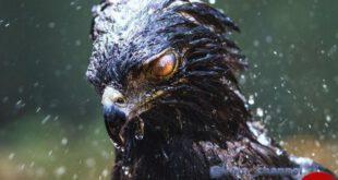 نگاه خشن عقاب سیاه در عکس روز نشنال جئوگرافیک!