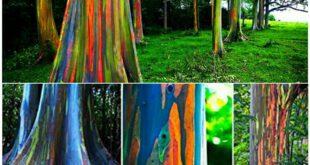 تصاویری زیبا از درخت های رنگین کمان!