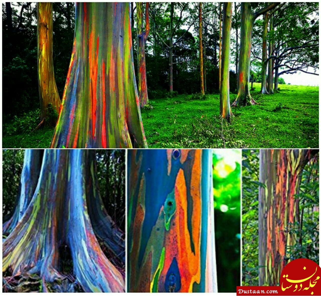 www.dustaan.com تصاویری زیبا از درخت های رنگین کمان!