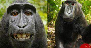 اخبارگوناگون ,خبرهای گوناگون , میمون سلفی بگیر