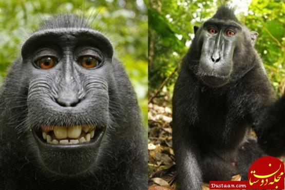 www.dustaan.com میمونی که به خاطر سلفی های زیبایش به عنوان «چهره سال» انتخاب شد+ عکس
