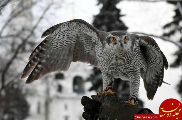 www.dustaan.com آموزش پرنده های شکاری برای محافظت از کاخ پوتین! +تصاویر