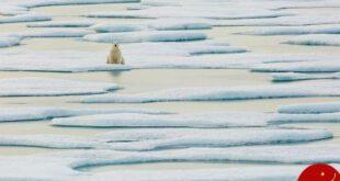 امیدهای آخر خرس قطبی بر روی قطعه یخ ها + عکس