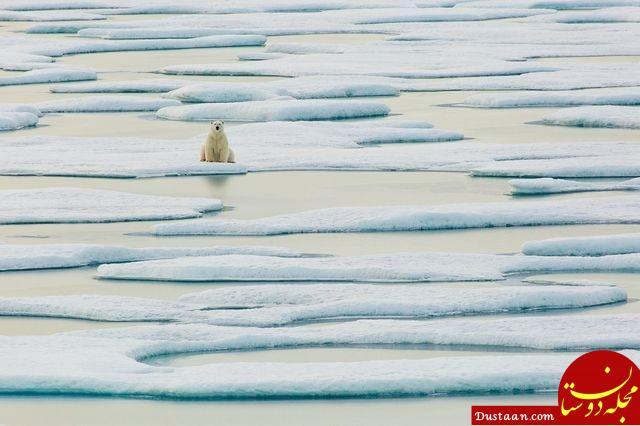 www.dustaan.com امیدهای آخر خرس قطبی بر روی قطعه یخ ها + عکس