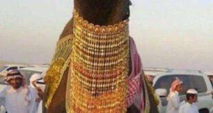 ازدواج میلیونی دو شتر در عربستان! +عکس
