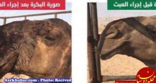 عمل زیبایی بینی به شتر ها رسید! +عکس