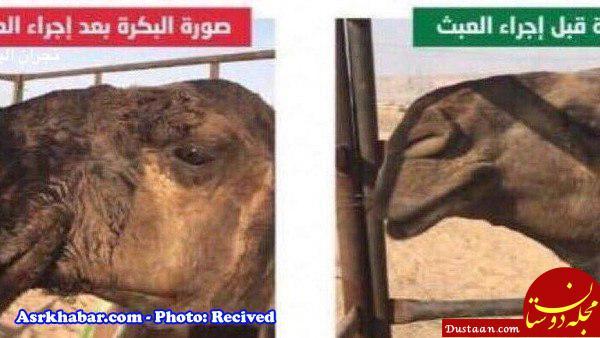 www.dustaan.com عمل زیبایی بینی به شتر ها رسید! +عکس