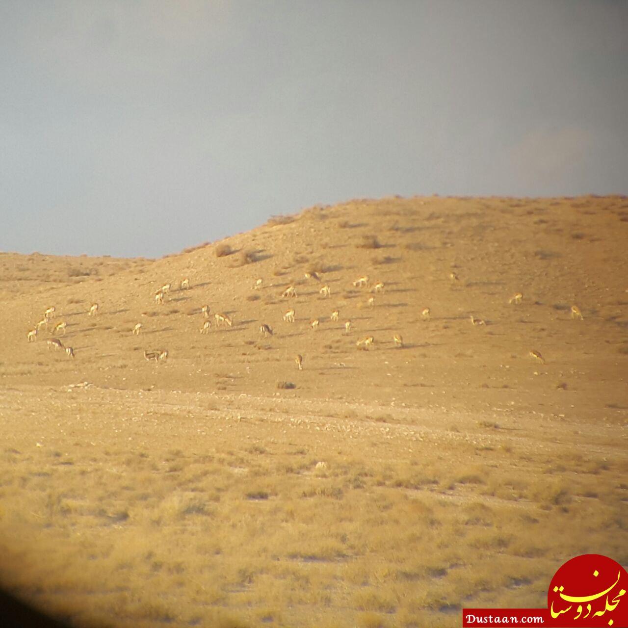 www.dustaan.com گله آهو در پناهگاه میاندشت جاجرم +عکس