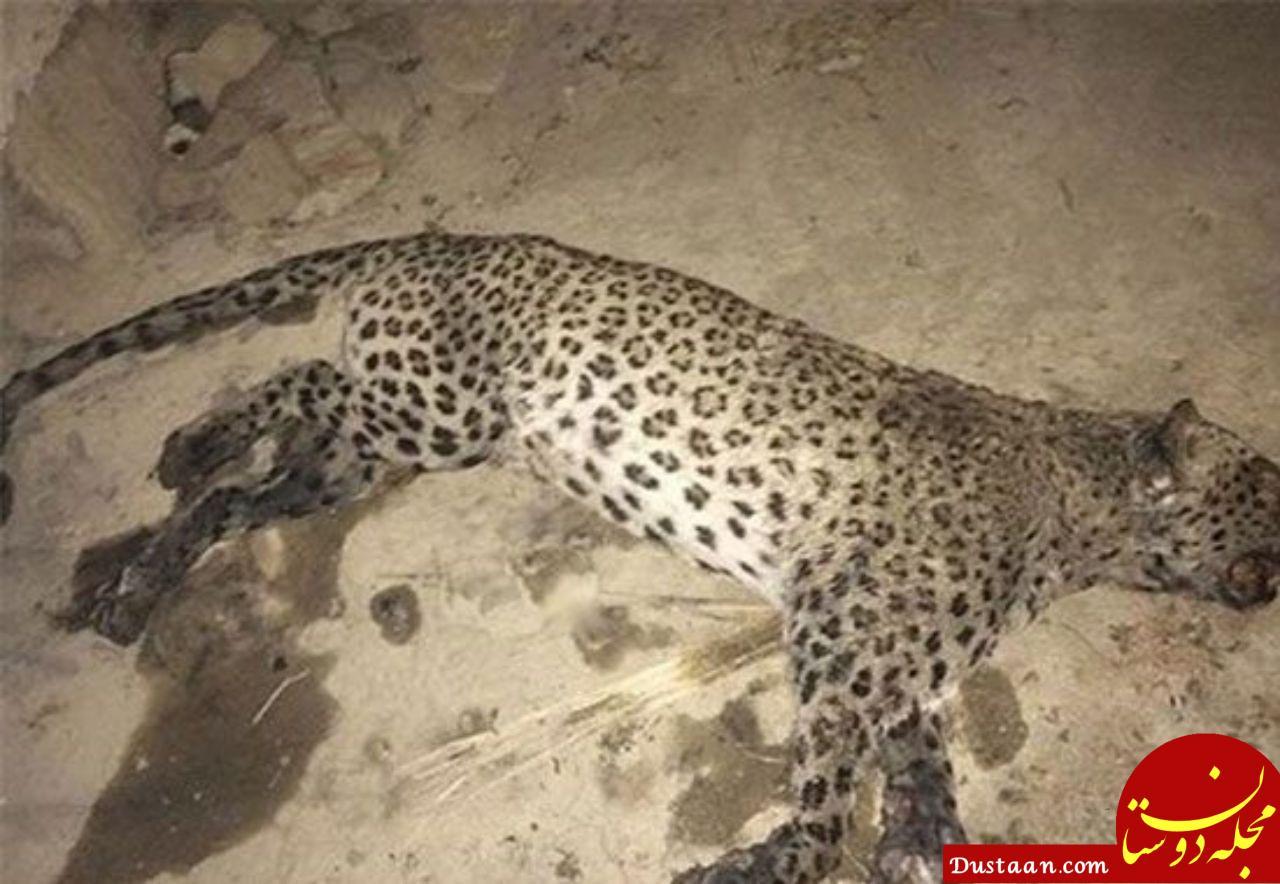 پلنگ ایرانی طعمه سگ های گله شد! +عکس