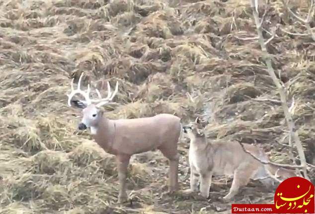ترفند کثیف شکارچی برای زمین گیر کردن سلطان جنگل! +عکس