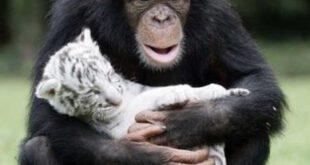 دوستی عجیب شامپانزه با بچه ببر ها! +تصاویر