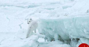 روباه قطبی در جست و جوی شکار + عکس