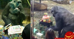 برگزاری جشن تولد برای پیرترین گوریل جهان! +عکس