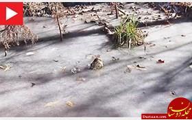 www.dustaan.com تمساح های یخ زده چگونه زنده می مانند!؟