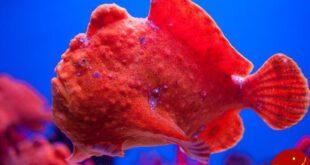 این ماهی دریایی به شیطان سیاه معروف است! +عکس