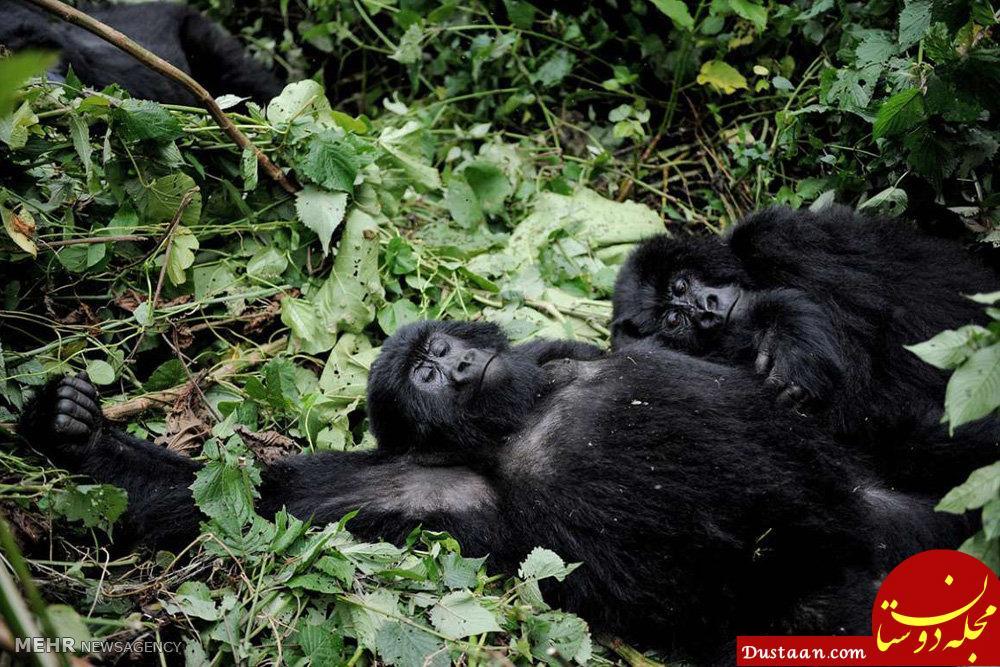 www.dustaan.com تصاویری ببینید از گوریل های کوهی جمهوری کنگو