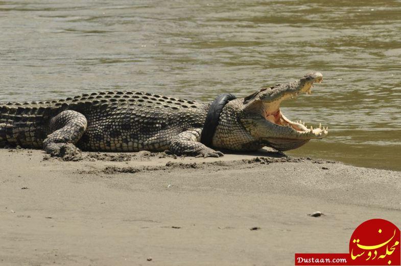 www.dustaan.com تمساحی که گردنبند دارد! +تصاویر