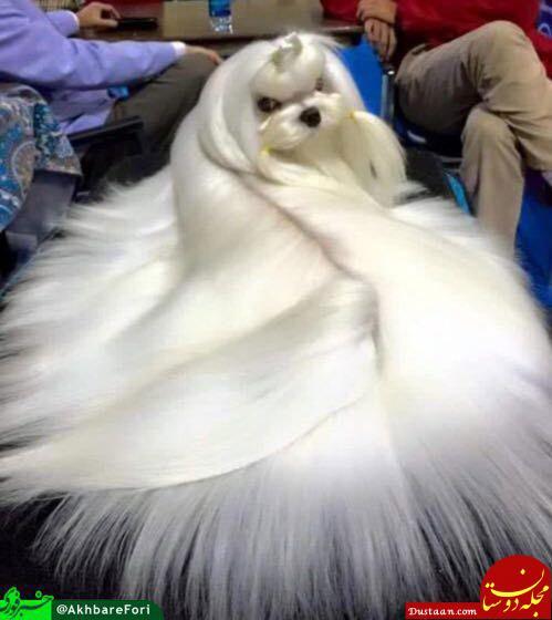 www.dustaan.com تصویری ببینید از زیباترین سگ جهان!