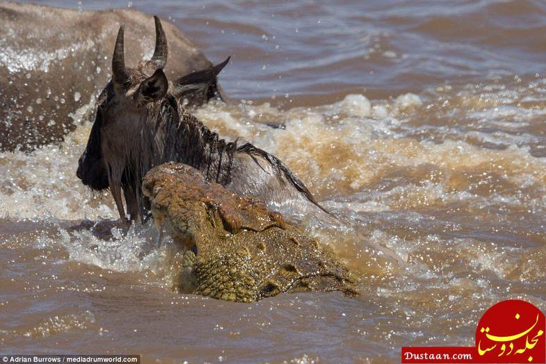 عکس های بسیار دیدنی از لحظه شکار تمساح های رودخانه کنیا