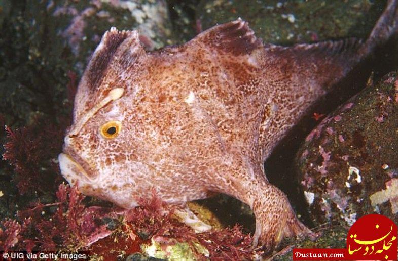 www.dustaan.com این ماهی همانند انسان انگشت دارد! +عکس