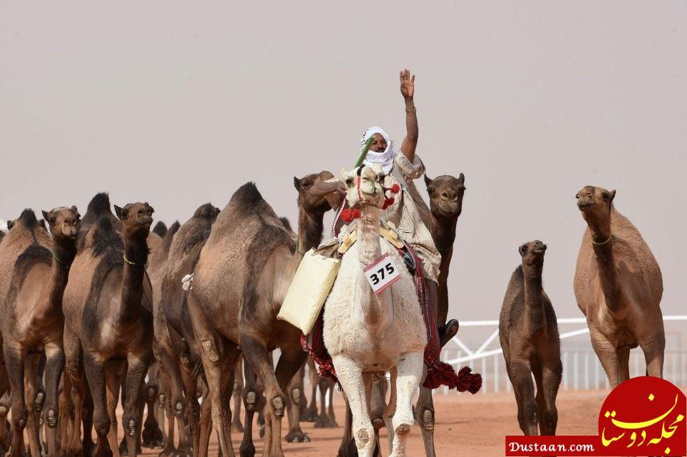 www.dustaan.com شترهایی که برای زیبایی بوتاکس می کنند + تصاویر