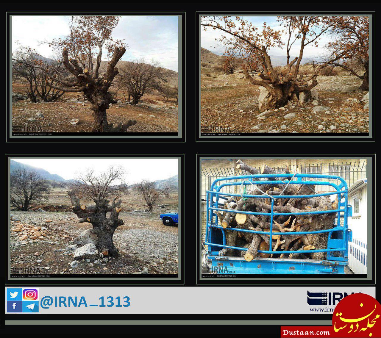 www.dustaan.com قطع درختان بلوط برای تهیه ذغال! +عکس