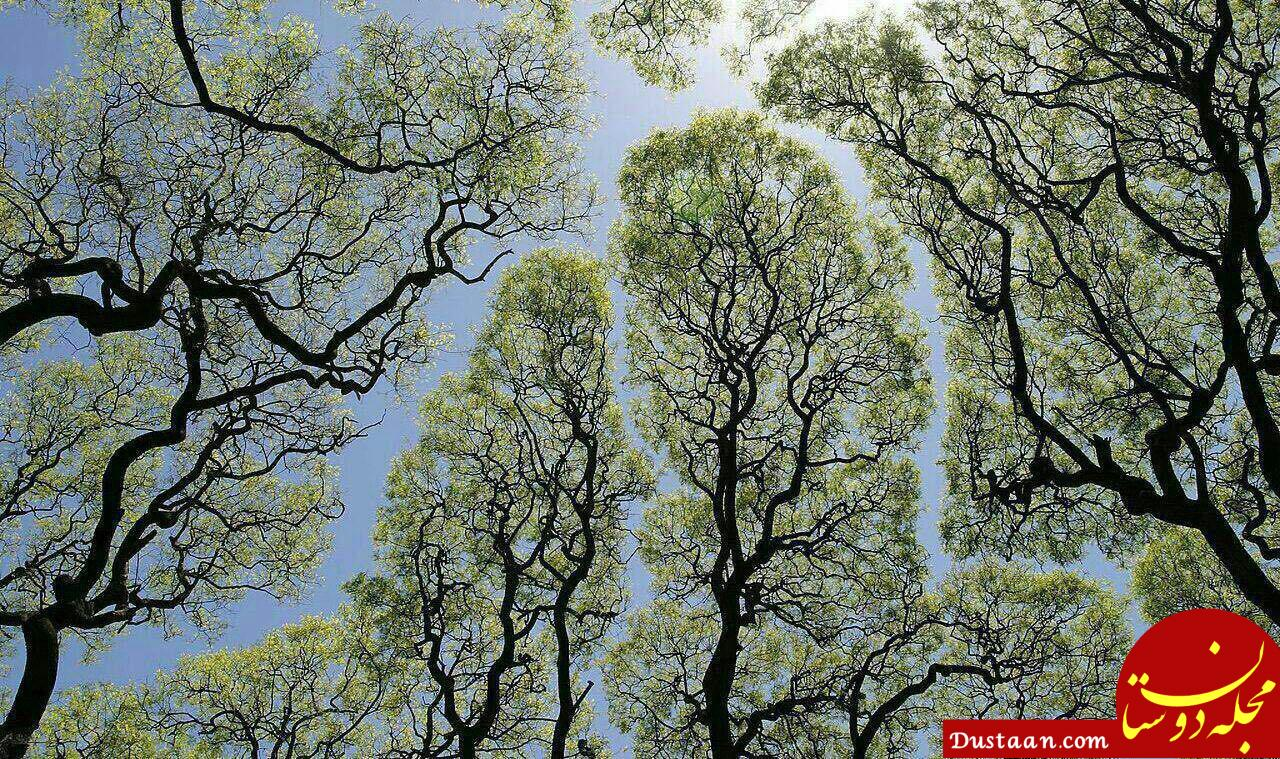 www.dustaan.com رفتار عجیب برخی از درختان با همنوعان خود! +عکس