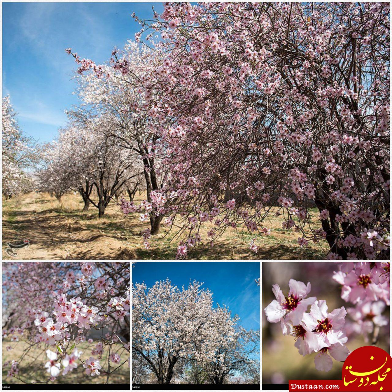 www.dustaan.com تصویری دیدنی از شکوفه های زمستانی شیراز