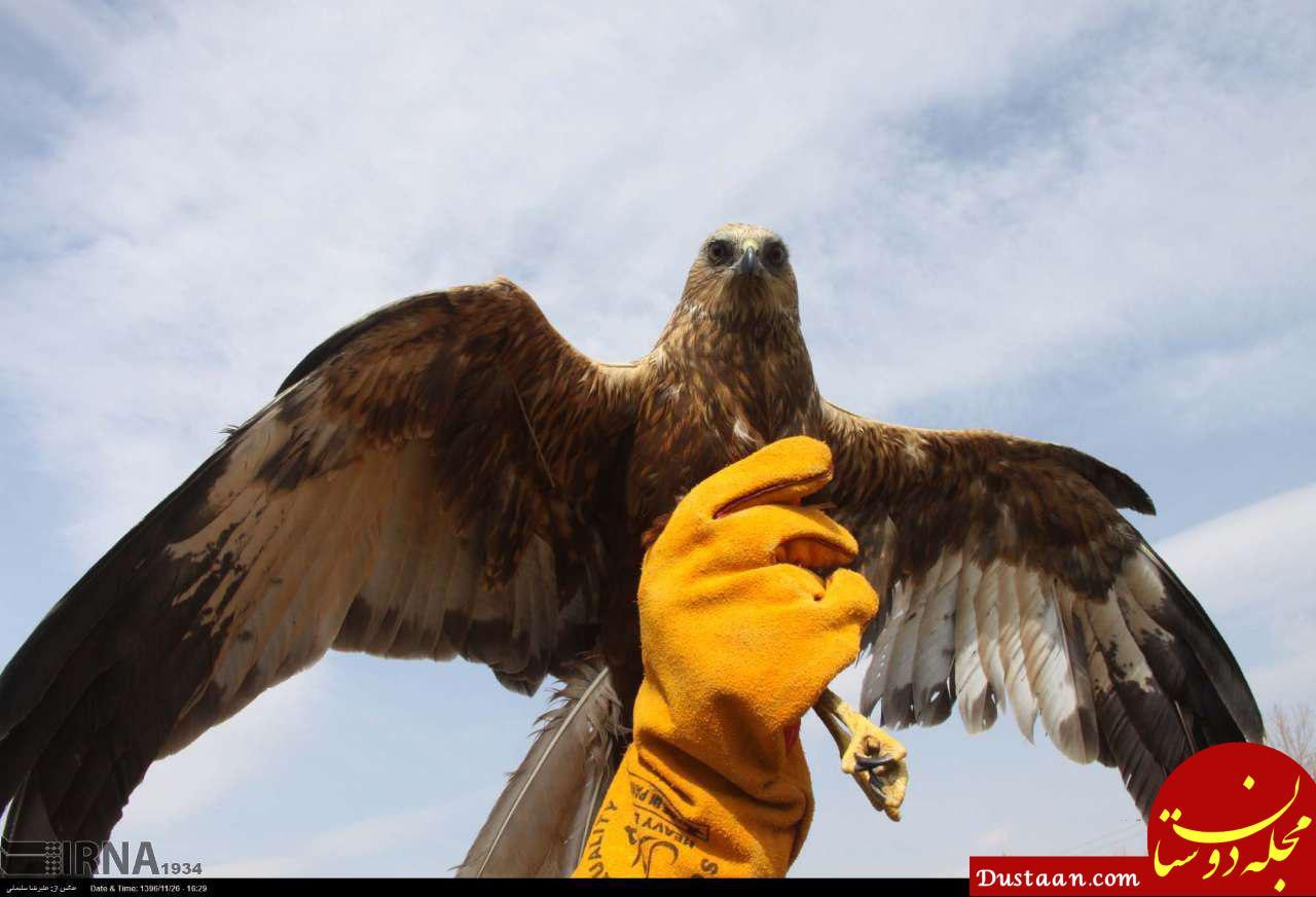 www.dustaan.com رها سازی یک بهله عقاب کورکور سیاه در طبیعت بروجرد +تصاویر