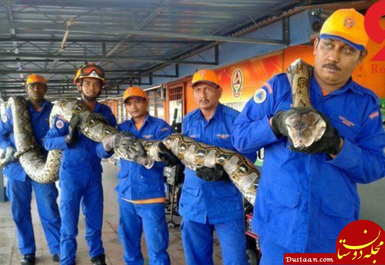 www.dustaan.com رونمایی از بزرگ ترین مار جهان با 8 متر طول! +عکس