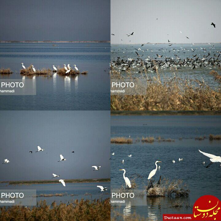 www.dustaan.com ورود پرندگان مهاجر به تالاب هورالعظیم +تصاویر