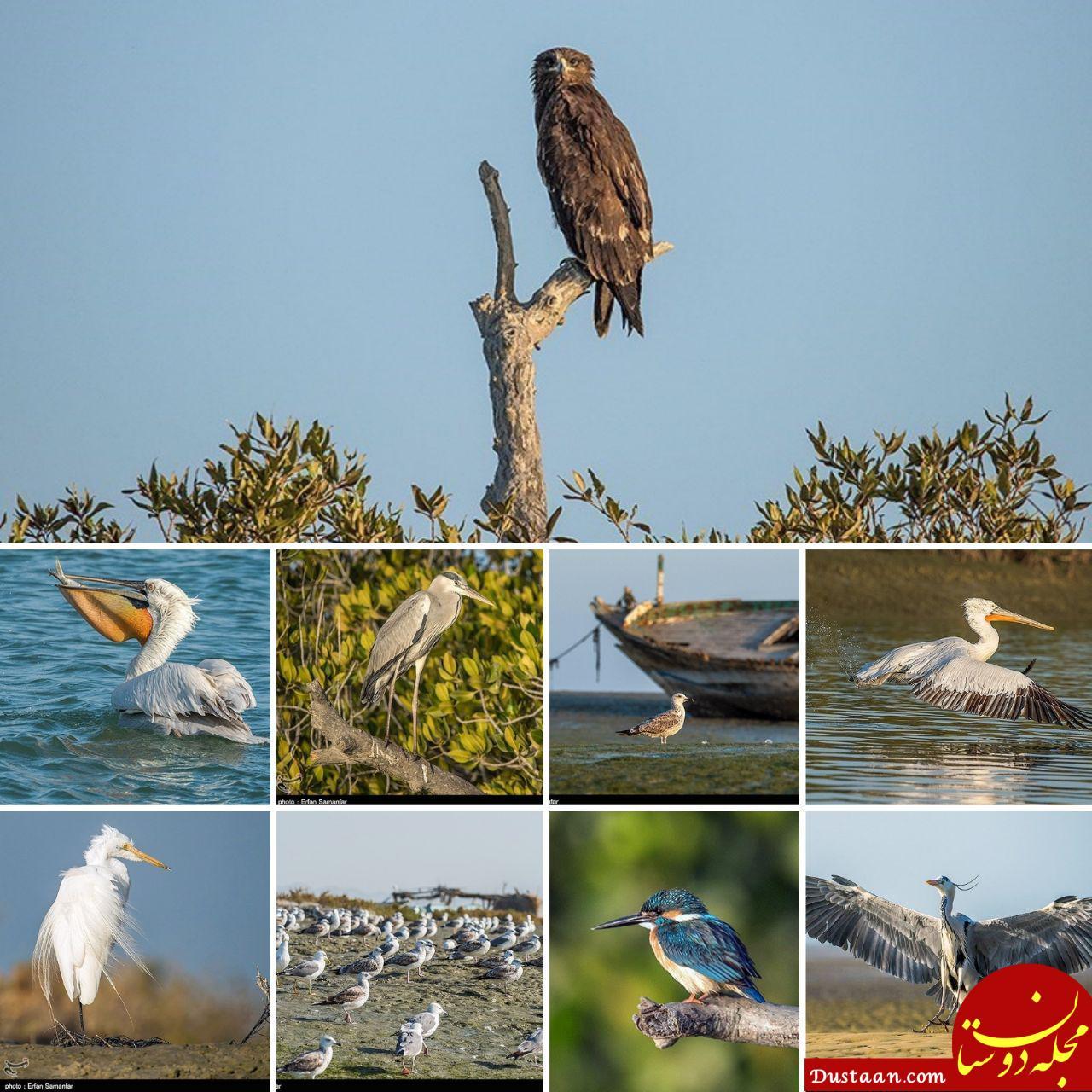 www.dustaan.com پرندگان خلیج فارس در یک نگاه! +عکس
