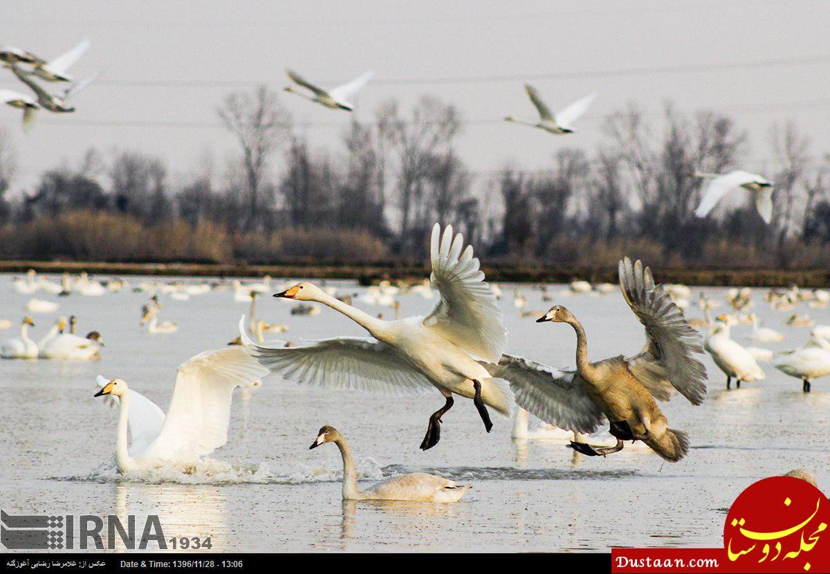 www.dustaan.com کوچ پرندگان به تالاب و آب بندان های مازندران +تصاویر