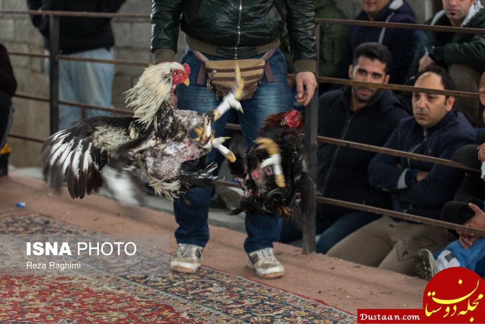www.dustaan.com خون بازی با خروس جنگی! +تصاویر