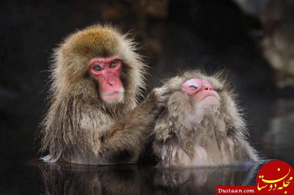 www.dustaan.com عکس روز نشنال جئوگرافیک از آرایش میمون ژاپنی!