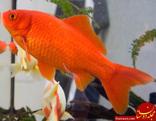 www.dustaan.com برای سفره هفت سین ماهی قرمز بخریم یا نخریم؟