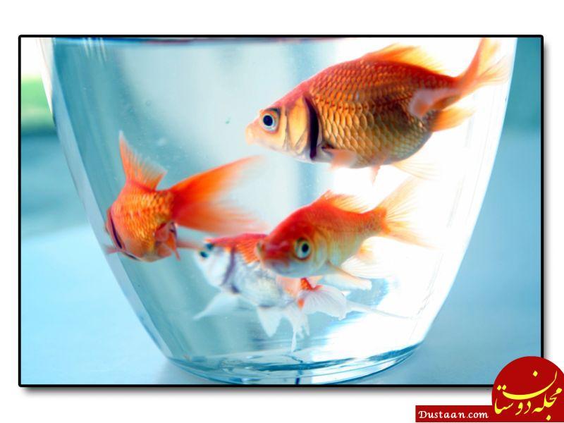 www.dustaan.com ماهی قرمز های سفره عید اهل کجا هستند؟