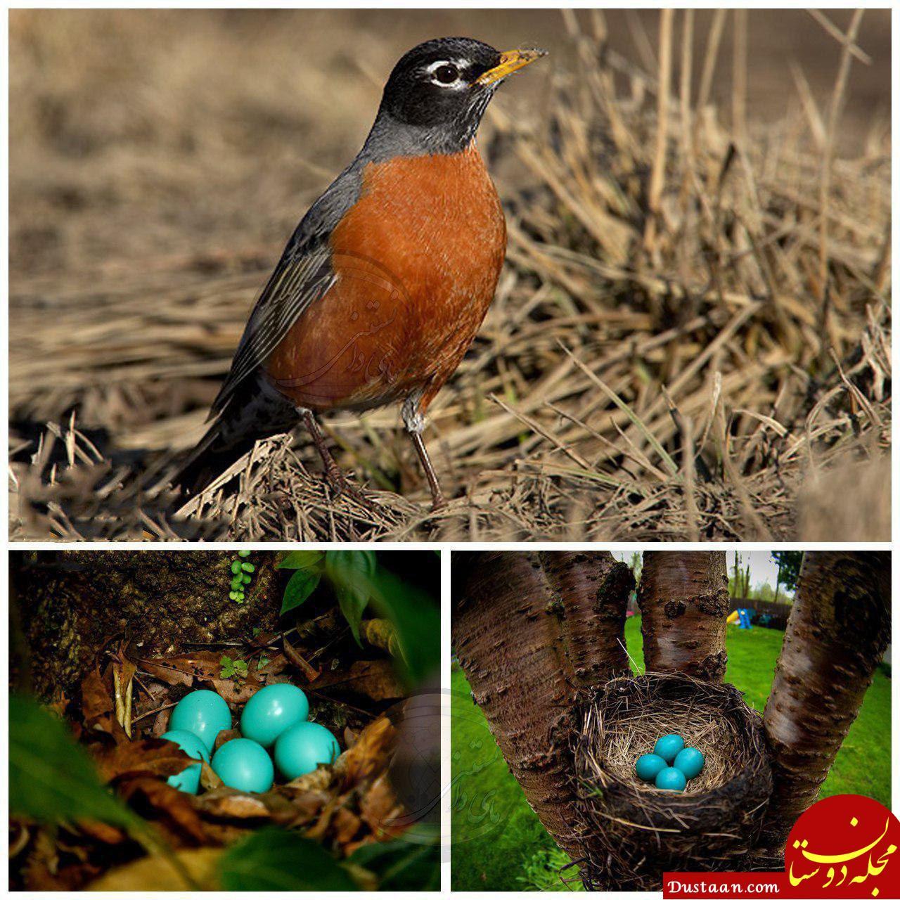 www.dustaan.com پرنده ای زیبا به نام «سینه سرخ »! +تصاویر