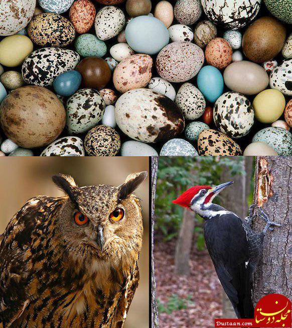 www.dustaan.com چرا تخم پرندگان شکلهای گوناگون دارد؟!