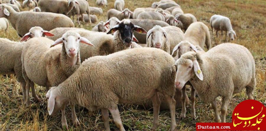 www.dustaan.com نرخ ارز باعث رونق صادرات گوسفند به کشورهای عربی شد!